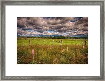 Sheep In Fiordland, Te Anau, New Zealand Framed Print by Rona Schwarz