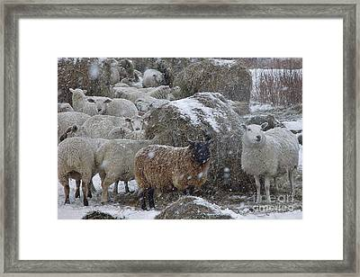 Sheep In Snow Framed Print by Christopher Mace