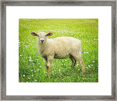 Sheep In Summer Meadow Framed Print by Elena Elisseeva