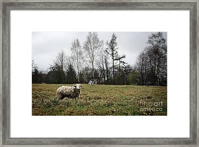 Sheep In Village Field Framed Print by Jolanta Meskauskiene