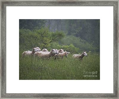 Sheep Looking Right 052313 Framed Print by Gene  Marchand
