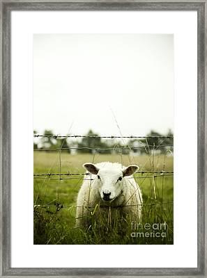 Sheep Framed Print by Margie Hurwich