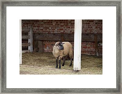 Sheep - Mt Vernon - 01132 Framed Print by DC Photographer