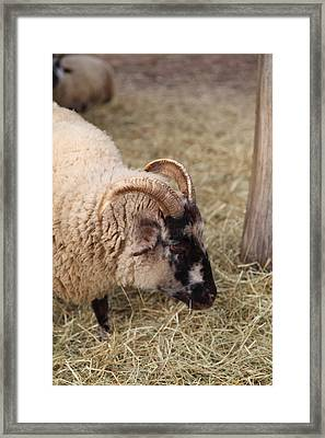 Sheep - Mt Vernon - 01134 Framed Print by DC Photographer