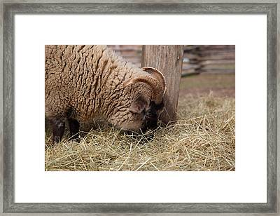 Sheep - Mt Vernon - 01135 Framed Print by DC Photographer