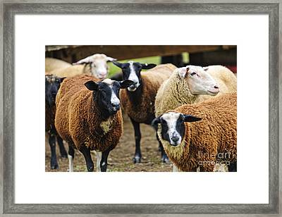 Sheep On A Farm Framed Print