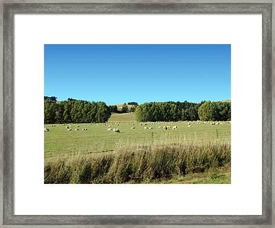 Sheep On Roadside Framed Print by Ron Torborg