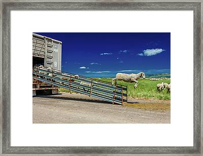 Sheep Ranchers Unload Sheep On Hastings Framed Print