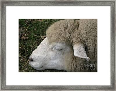 Sheep Sleep Framed Print by Ann Horn