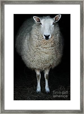 Sheep Framed Print by Stephanie Frey
