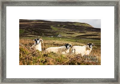 Sheep Trio Framed Print by Jane Rix