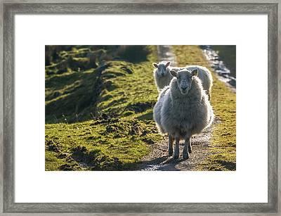 Sheep Walking On Path Ballinskelligs Framed Print by James Sparshatt