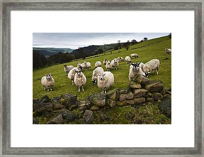Sheep Will Eat Your Lunch Framed Print