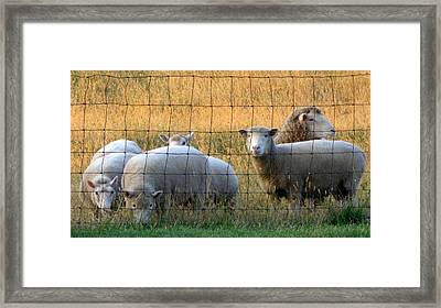 Sheep With Golden Light Framed Print by Joseph Skompski