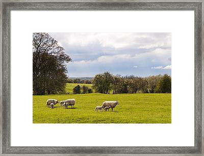Sheep With Lambs Framed Print