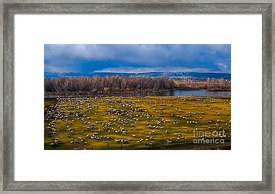 Sheepraising Framed Print by Robert Bales