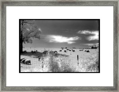 Sheep's In The Meadow Framed Print by Greg Kopriva
