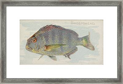 Sheepshead, From The Fish From American Framed Print