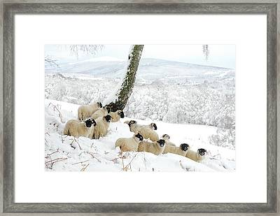 Sheltering Flock Framed Print by John Kelly