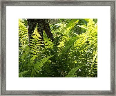 Shenandoah Ferns Framed Print by Amanda Kobeshimi