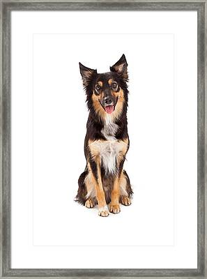 Shepherd And Border Collie Mixed Breed Dog Framed Print by Susan Schmitz