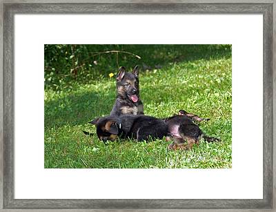 Shepherd Pups 20 Framed Print by Aimee L Maher Photography and Art Visit ALMGallerydotcom