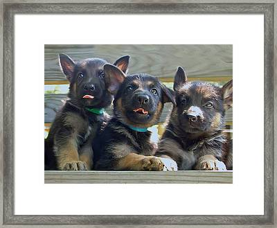 Shepherd Pups 3 Framed Print by Aimee L Maher Photography and Art Visit ALMGallerydotcom