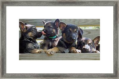 Shepherd Pups 5 Framed Print