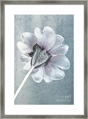 Sheradised Primula Framed Print by John Edwards