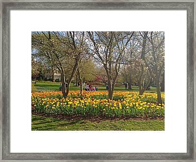 Sherwood Gardens Yellow Tulips Framed Print