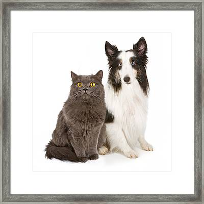 Shetland Sheepdog And Gray Cat Framed Print