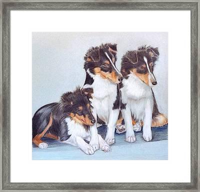 Shetland Sheepdog Puppies Framed Print