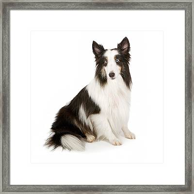 Shetland Sheepdog With Blue Eyes Stock Photo  Framed Print by Susan Schmitz