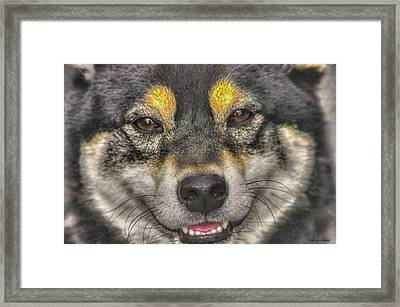 Framed Print featuring the photograph Shiba Inu by Dennis Baswell
