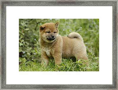 Shiba Inu Puppy Dog Framed Print by Jean-Michel Labat