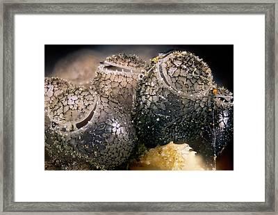 Shield Bug Eggs Framed Print by Nicolas Reusens