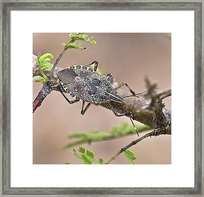 Shield Bug (erthesina Fullo) Framed Print by K Jayaram