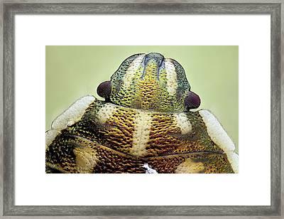 Shield Bug Head Framed Print by Nicolas Reusens