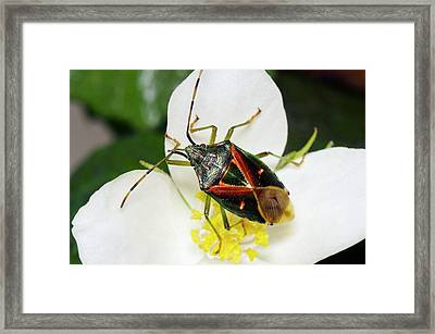 Shield Bug Framed Print by Philippe Psaila