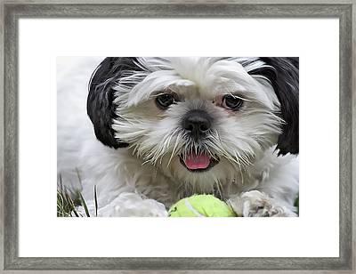 Shih Tsu And Ball Framed Print