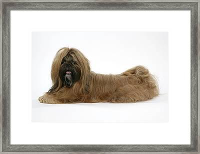 Shih-tzu Dog Framed Print by John Daniels