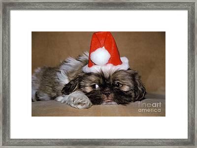 Shih Tzu Dressed As Santa Claus Framed Print by Ron Sanford