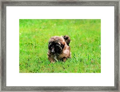 Shih Tzu Puppy Framed Print
