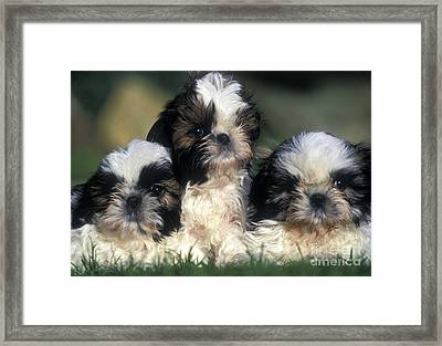 Shih Tzu Puppy Dogs Framed Print