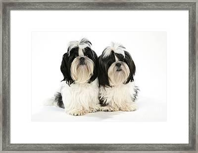 Shih-tzu Puppy Dogs Framed Print by John Daniels