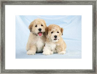 Shih Tzubichon Cross Pups Framed Print by John Daniels