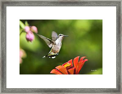 Shimmering Breeze Hummingbird Framed Print by Christina Rollo
