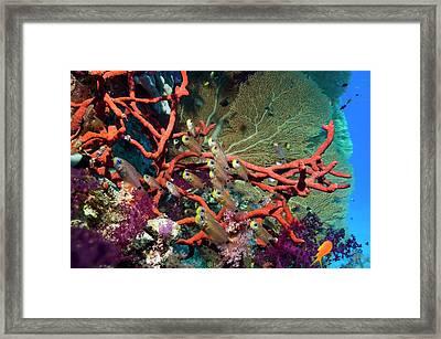 Shimmering Cardinalfish Framed Print by Georgette Douwma