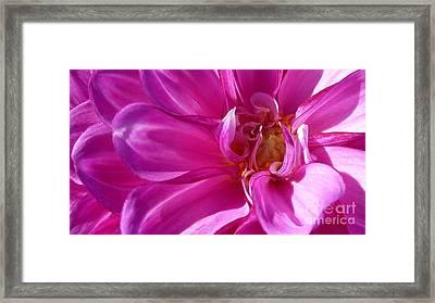 Shimmering Pink Dahlia Flower Framed Print by Susan Garren