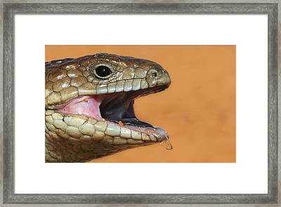 Shingle Back Lizard Framed Print